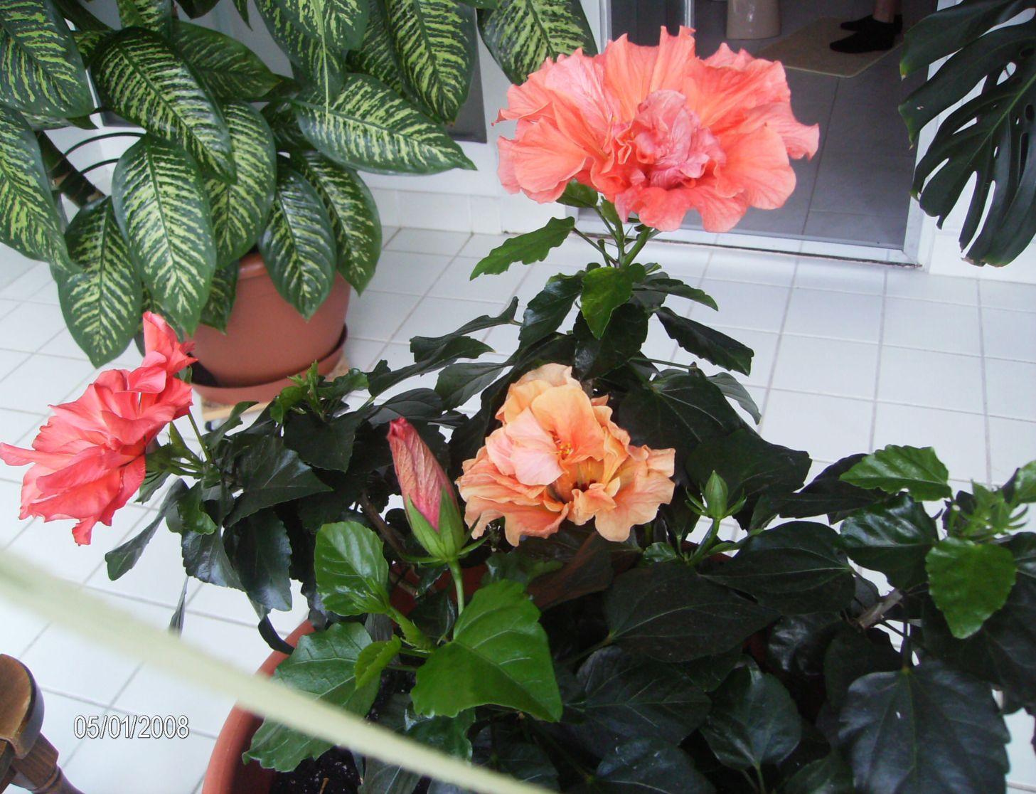 Гибискус. Растения комнатные
