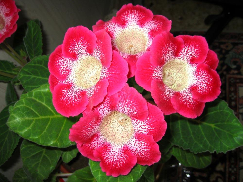 Gloxinia Tigrinum red   (2008) год. Цветы