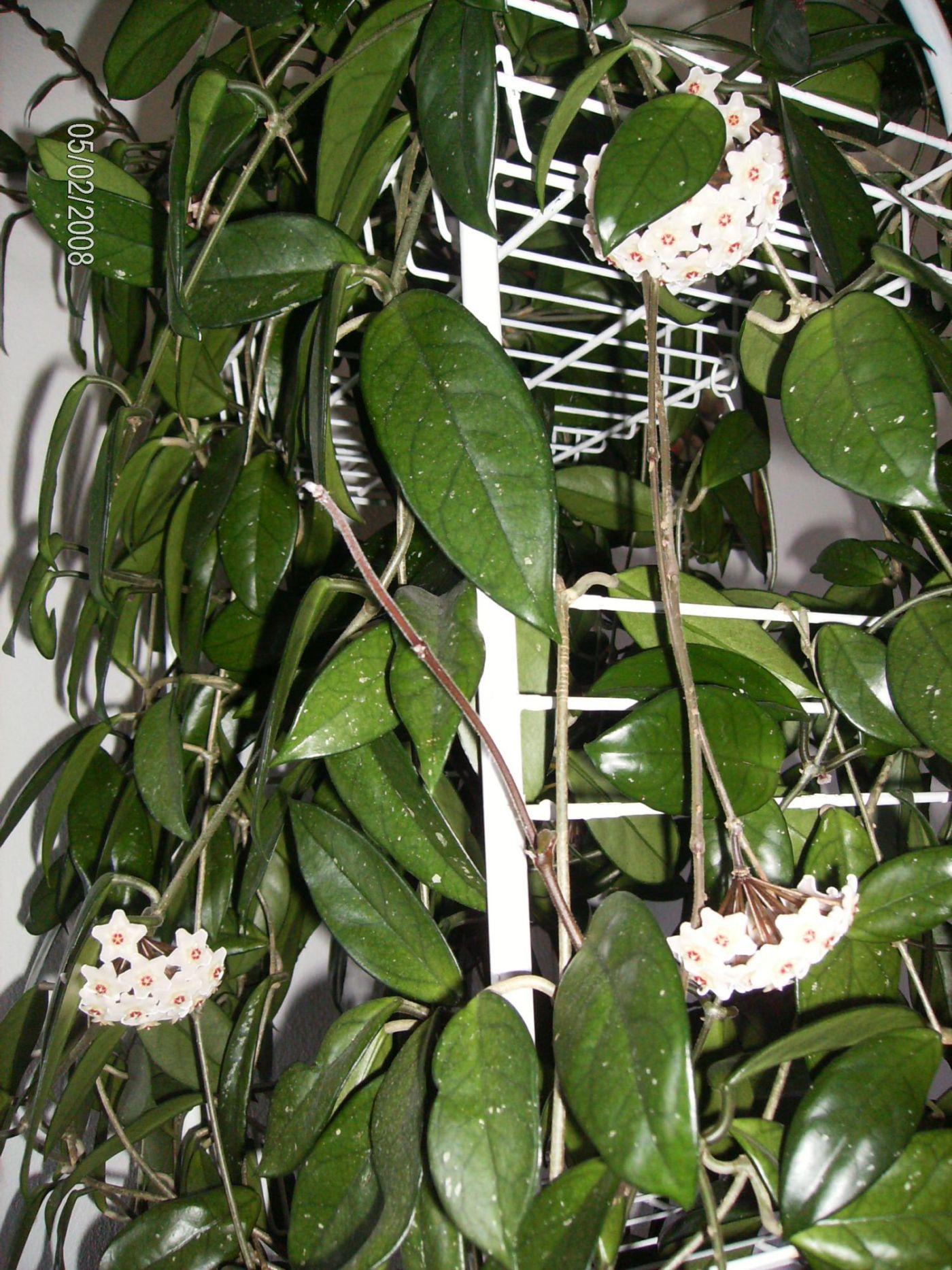 Мой восковой плющик. Растения комнатные