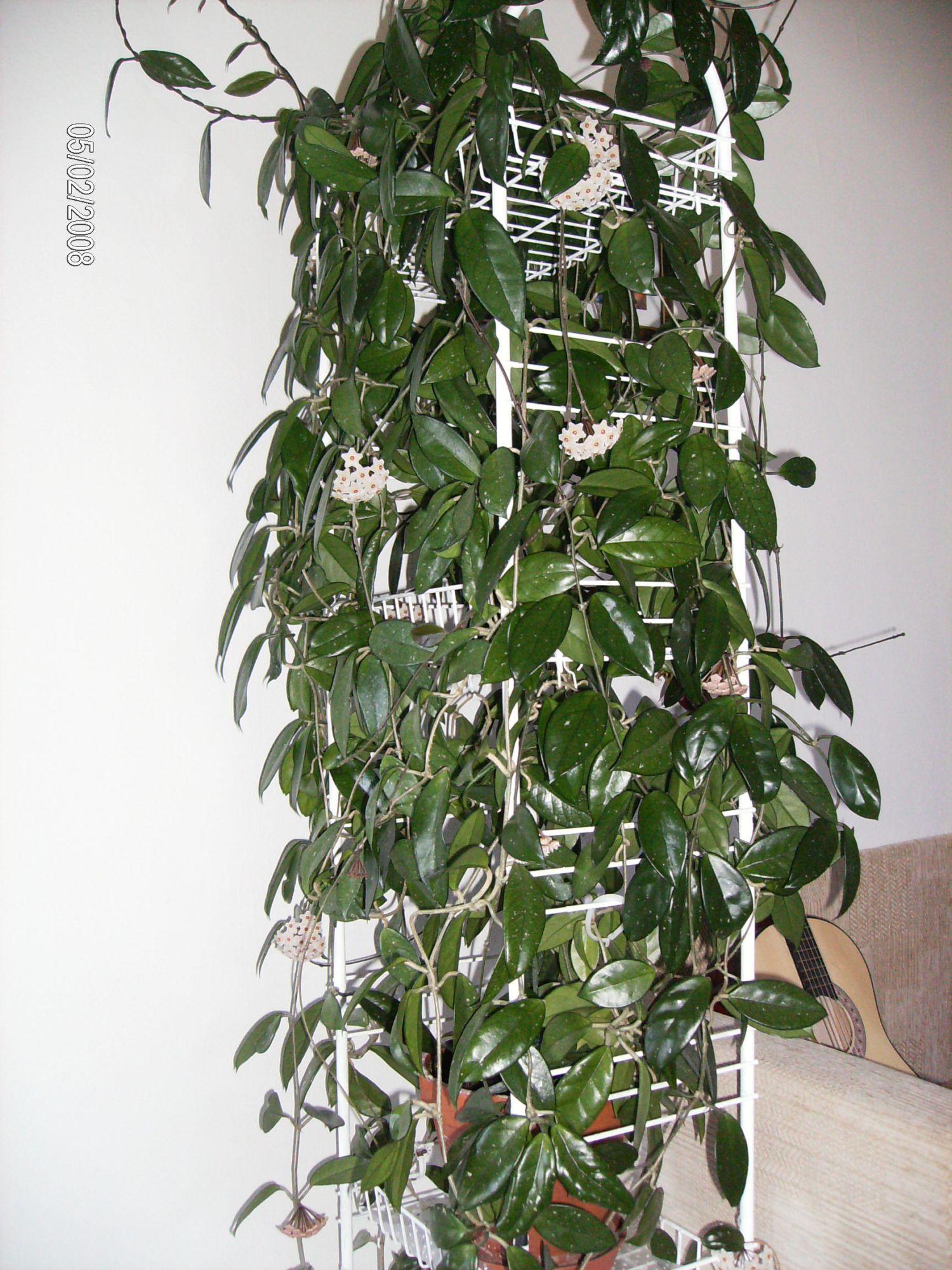 Плющ восковой. Растения комнатные