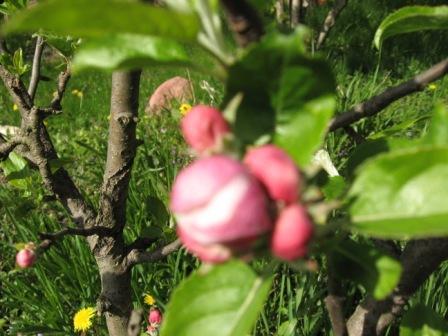 Наша малютка - яблонька высотой в 80 см. Ей лет15)). Цветы