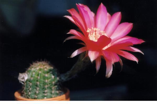 цветы: эхинопсис  гоффмани. Кактусы и другие суккуленты