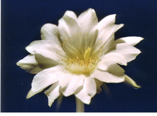 цветок эхинопсис эйрэзии. Кактусы и другие суккуленты