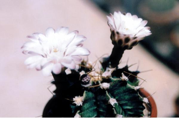 гимнокалициум михановичи. Кактусы и другие суккуленты