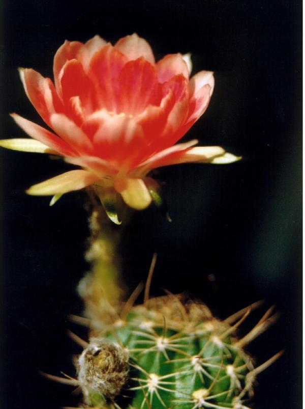 Lobivia gofmanii. Кактусы и другие суккуленты
