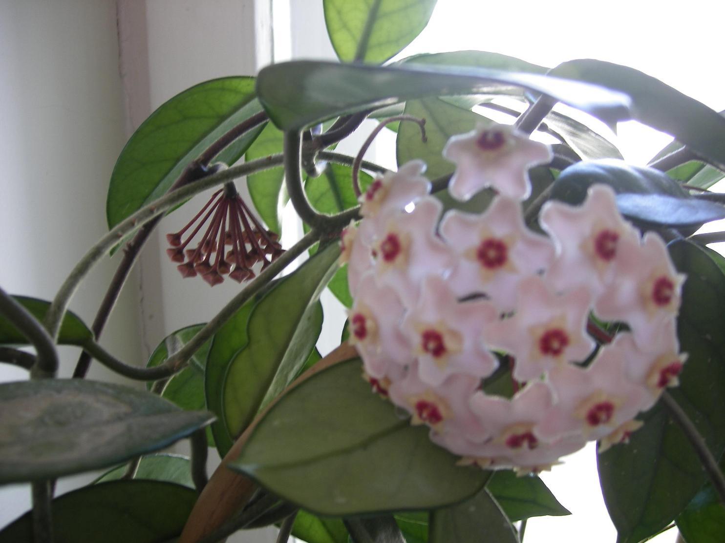 Хойа. Растения комнатные