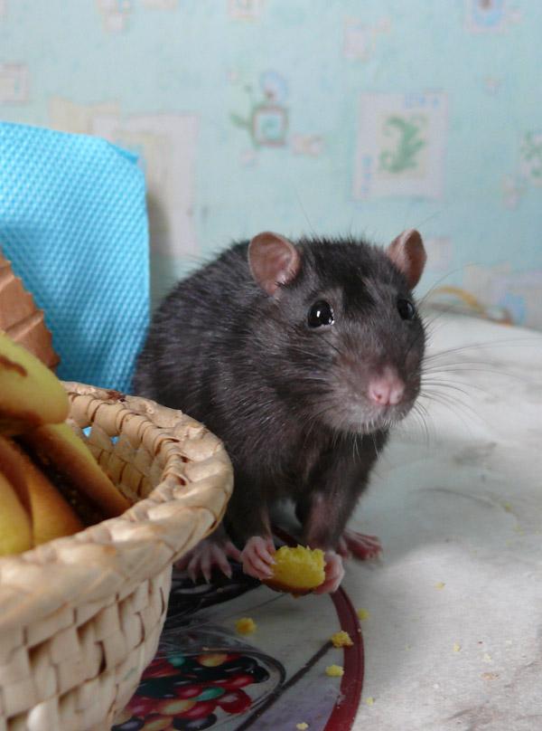 Крысуня.