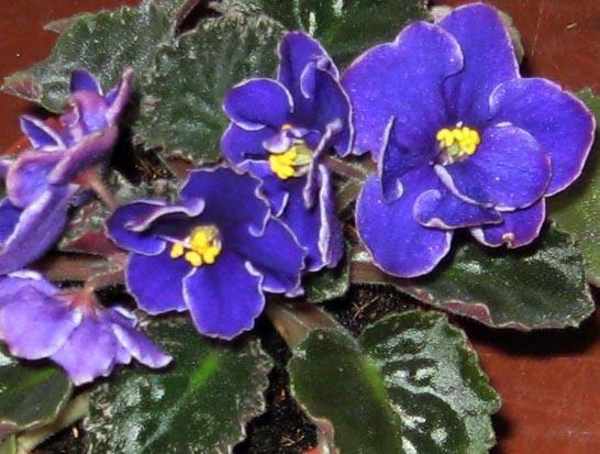 Anira. Растения комнатные