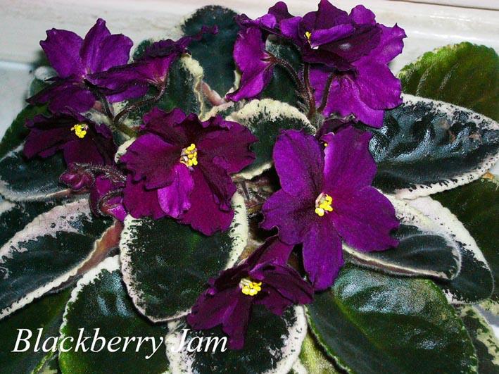 Blackberry Jam. Растения комнатные