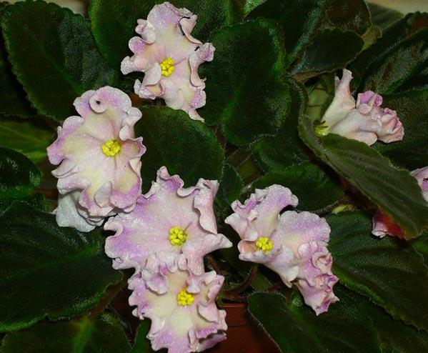 Blushing Ivory. Растения комнатные