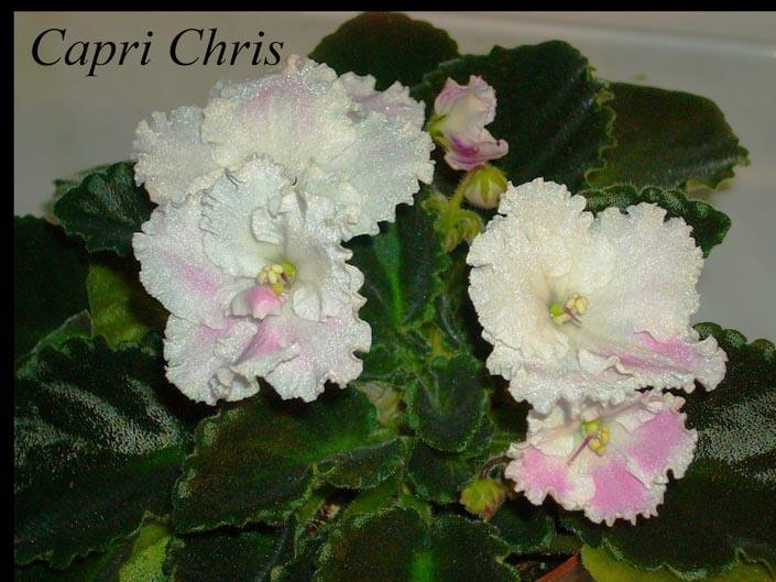 Capri Chris. Растения комнатные