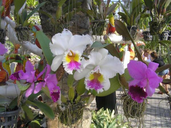 Тайские орхидеи. Цветы