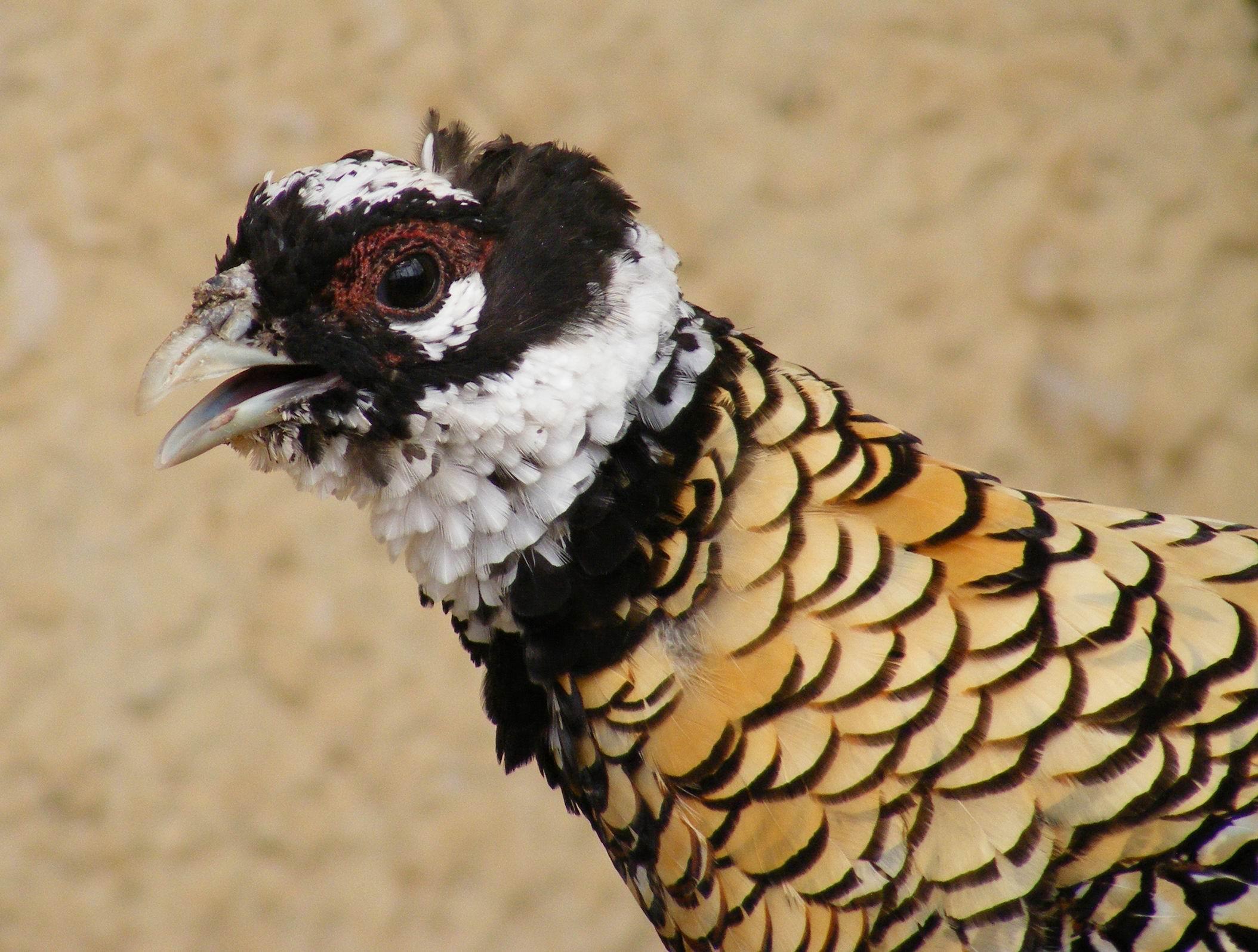 Королевский фазан. Парк птиц 'Воробьи'