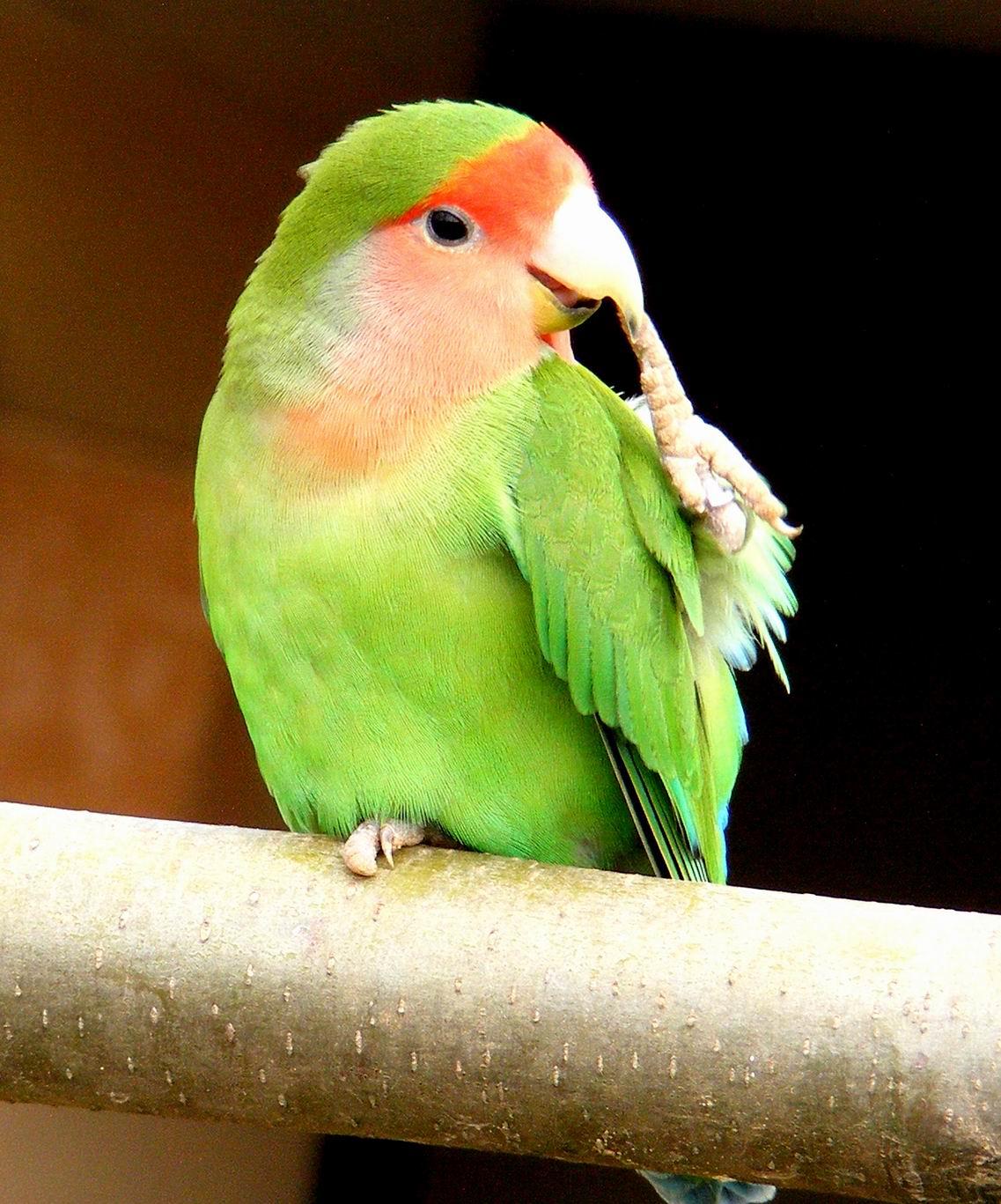 Розовощекий неразлучник . Парк птиц 'Воробьи'