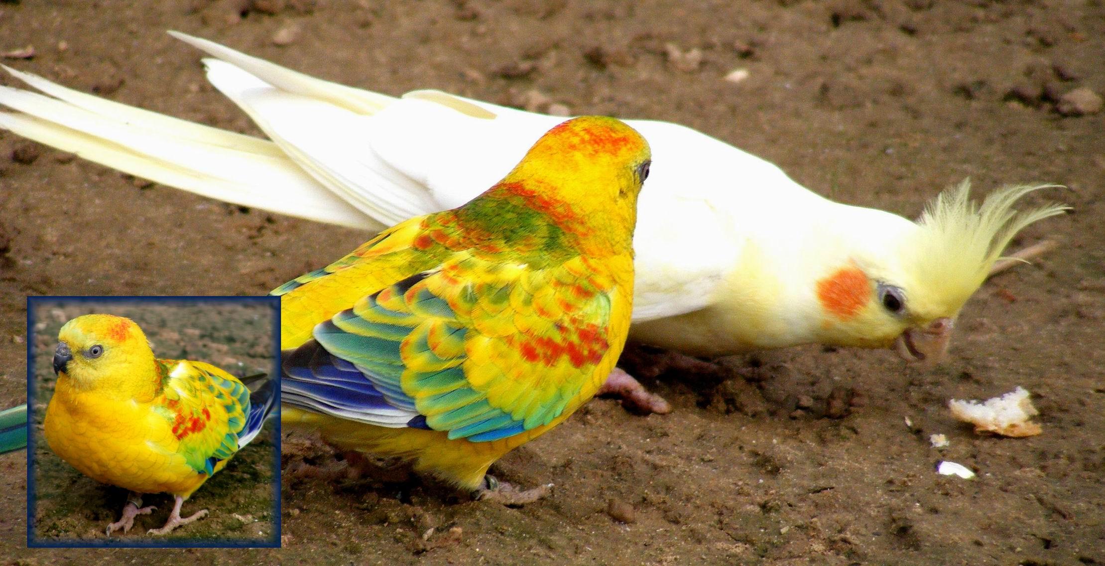 Корелла (нимфа). Парк птиц 'Воробьи'