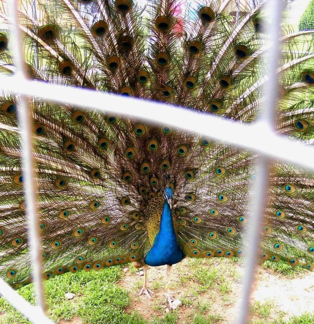 Павлин. Парк птиц 'Воробьи'