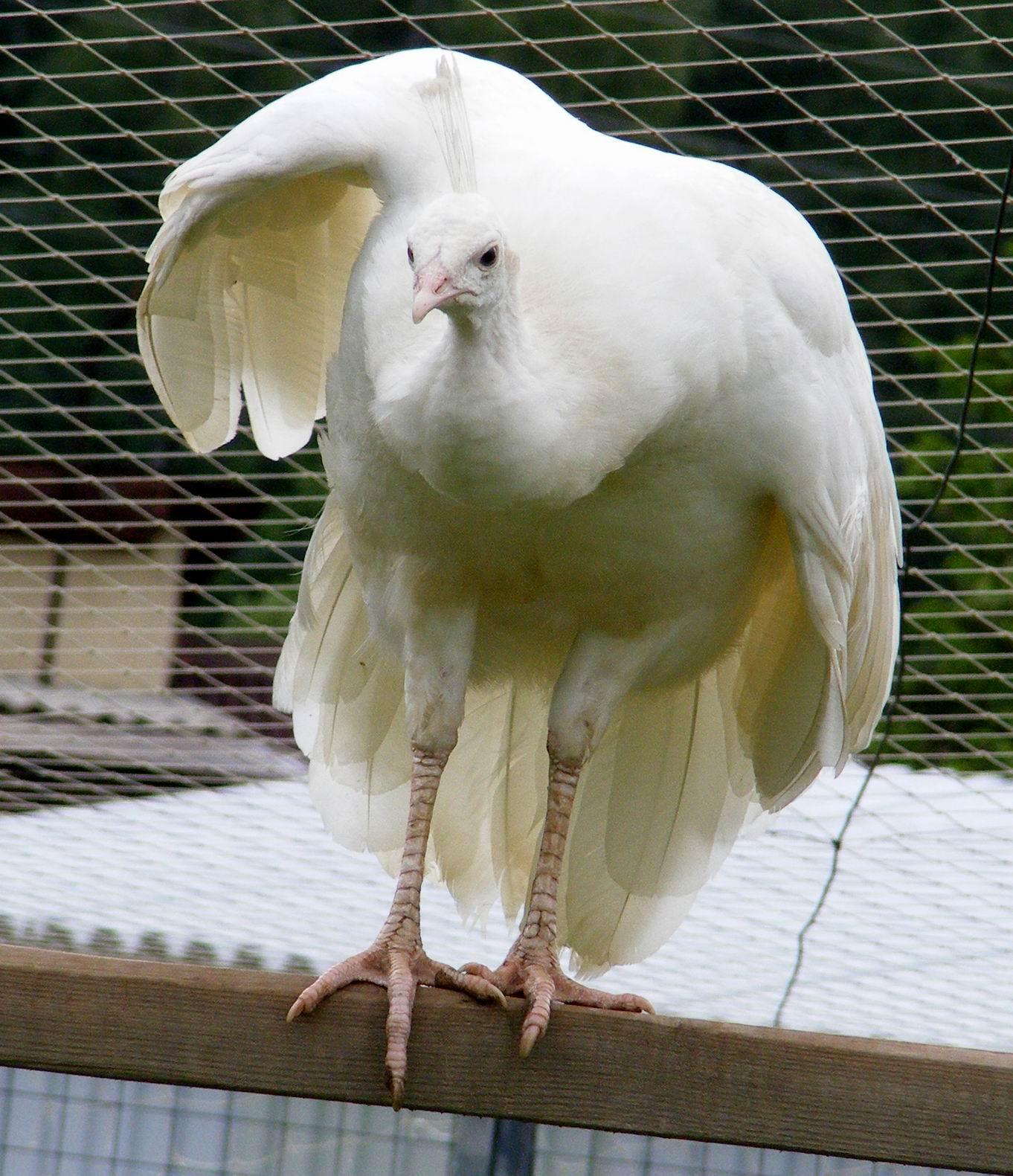 Индийский белый павлин. Парк птиц 'Воробьи'