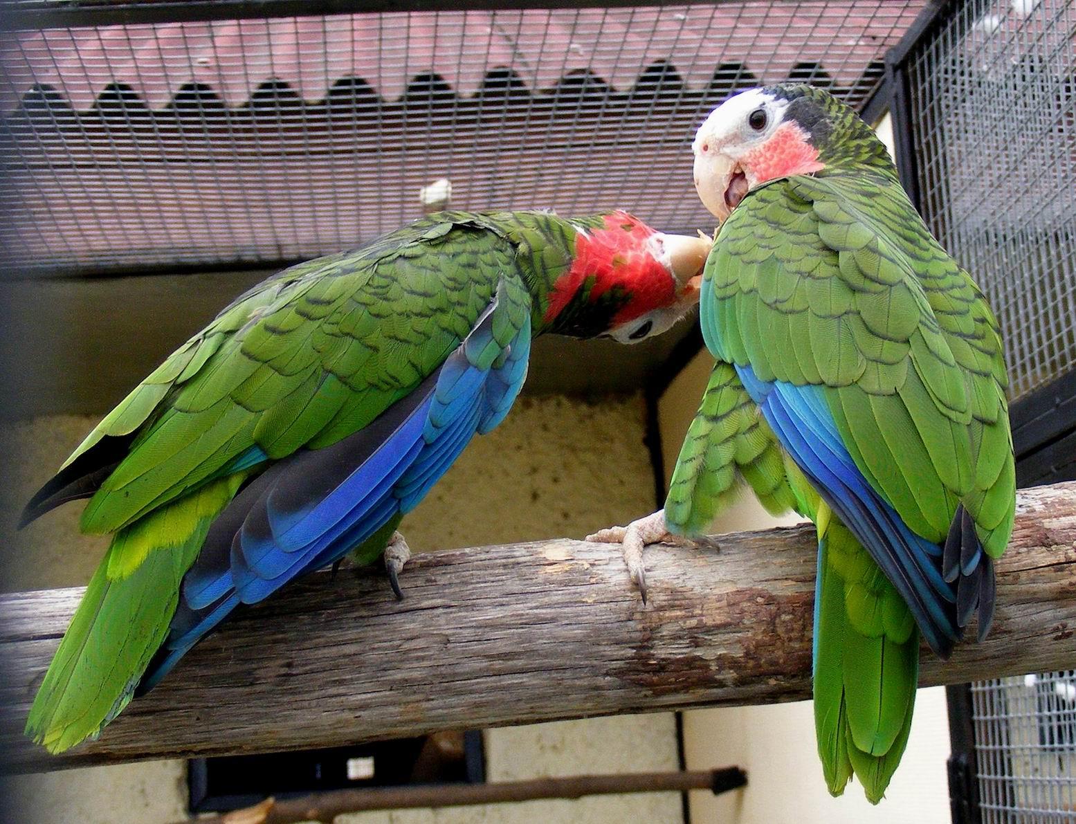 Амазоны, возможно - кубинские. Парк птиц 'Воробьи'