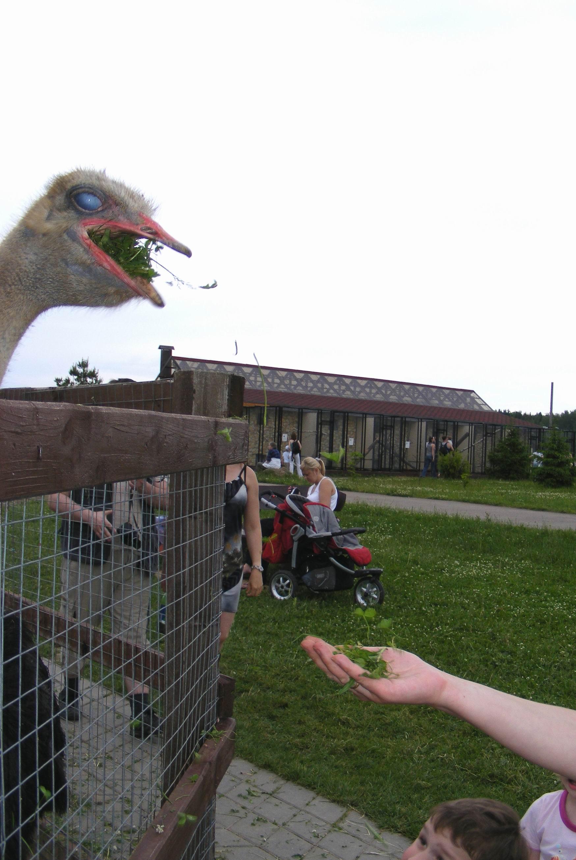 Страус ест траву с моей руки. Парк птиц 'Воробьи'