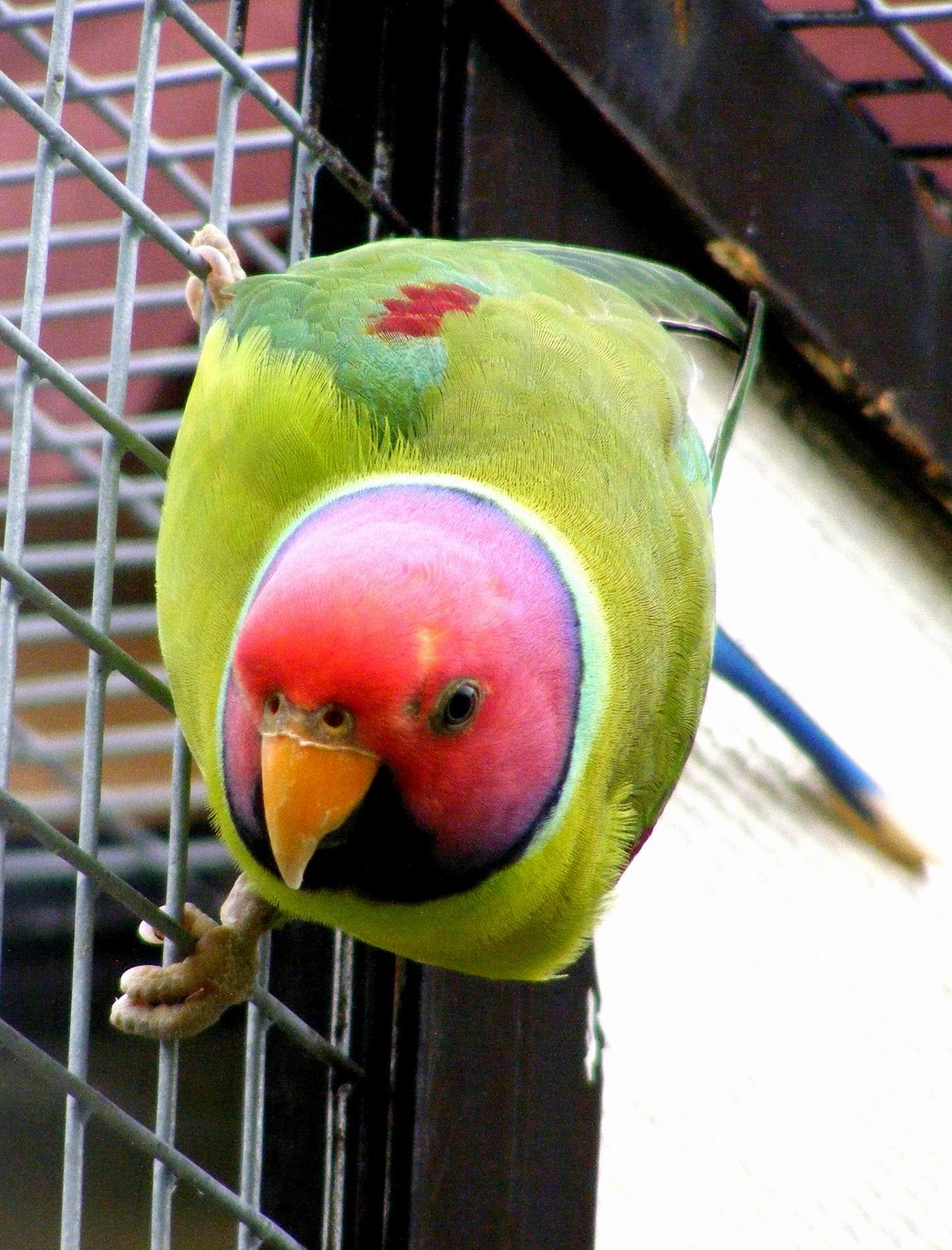 Сливоголовый попугай. Парк птиц 'Воробьи'