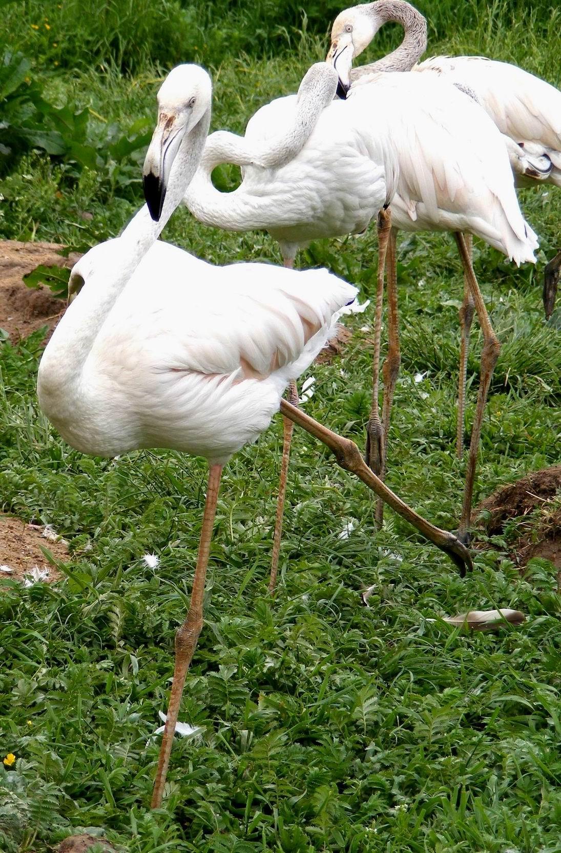 Фламинго. Парк птиц 'Воробьи'