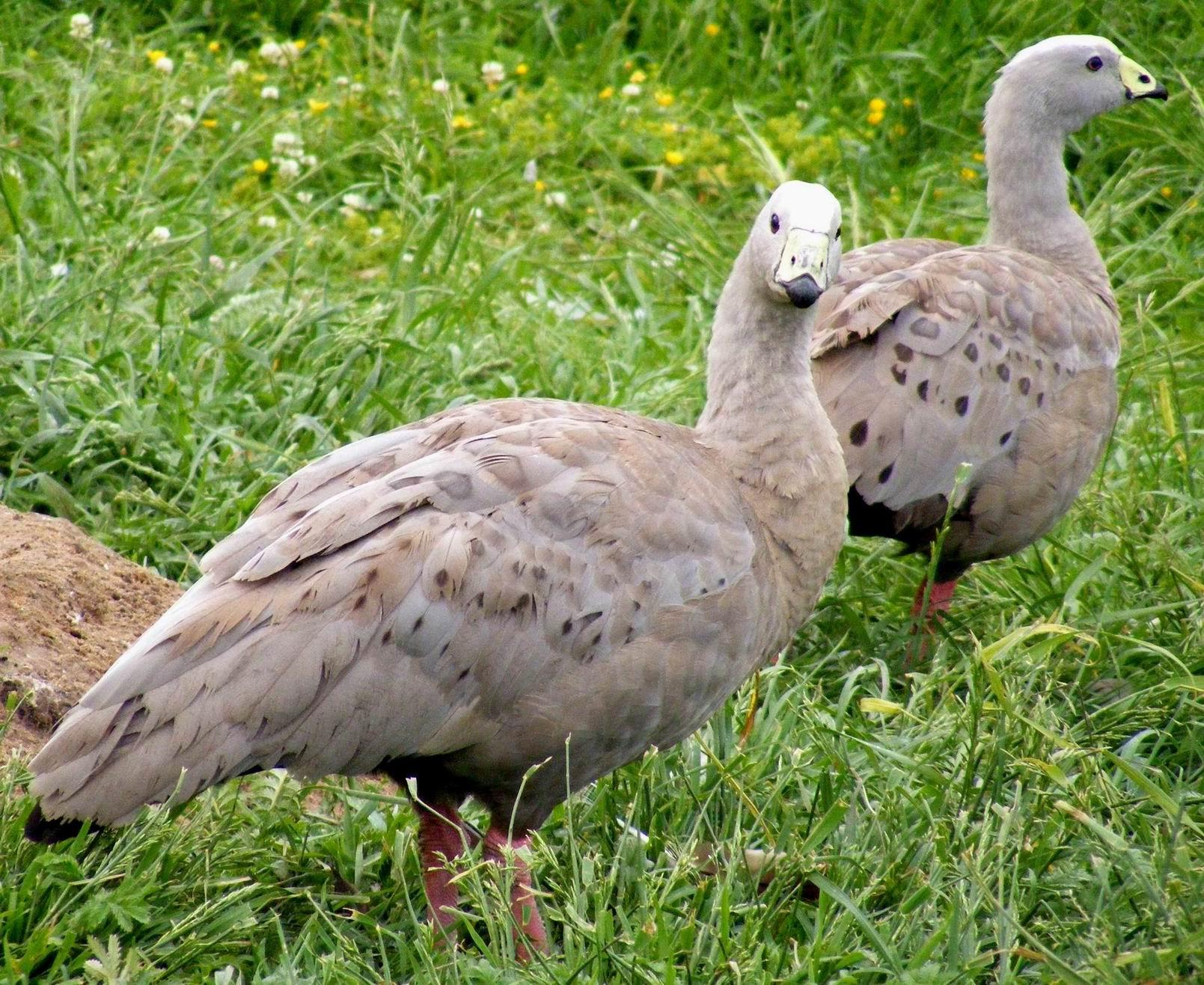 Куриные гуси. Парк птиц 'Воробьи'
