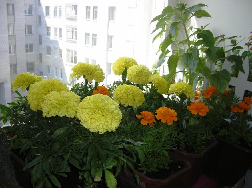 Бархатцы (Тагетс). Растения комнатные