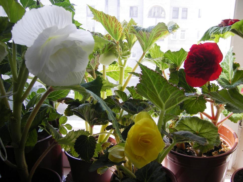 Бегонии . Растения комнатные