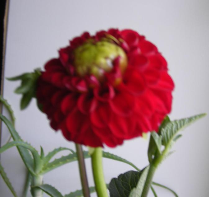 Георгин.. Растения комнатные