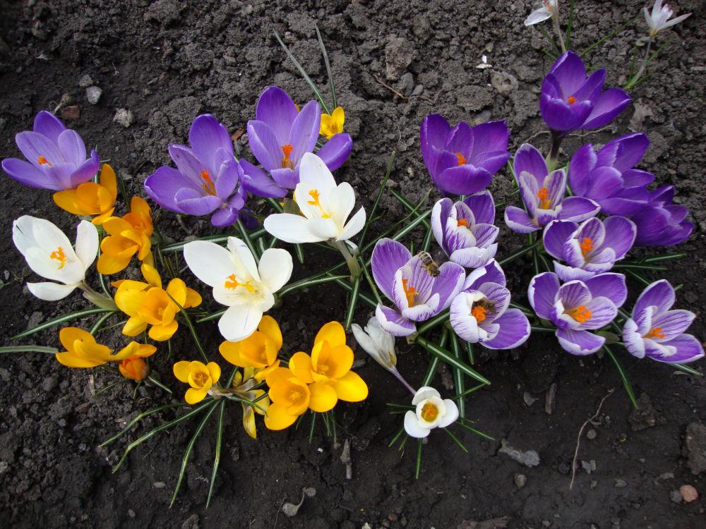 Крокус, или Шафран. Цветы