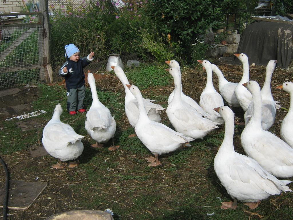 Бабуле помогает пасти гусей.... Закрытое голосование фотоконкурса 'Маленькие помощники'