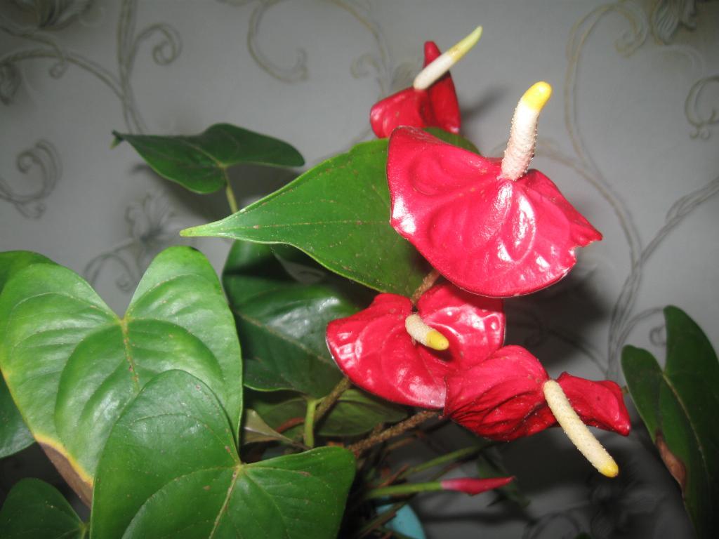 антуриум. Растения комнатные