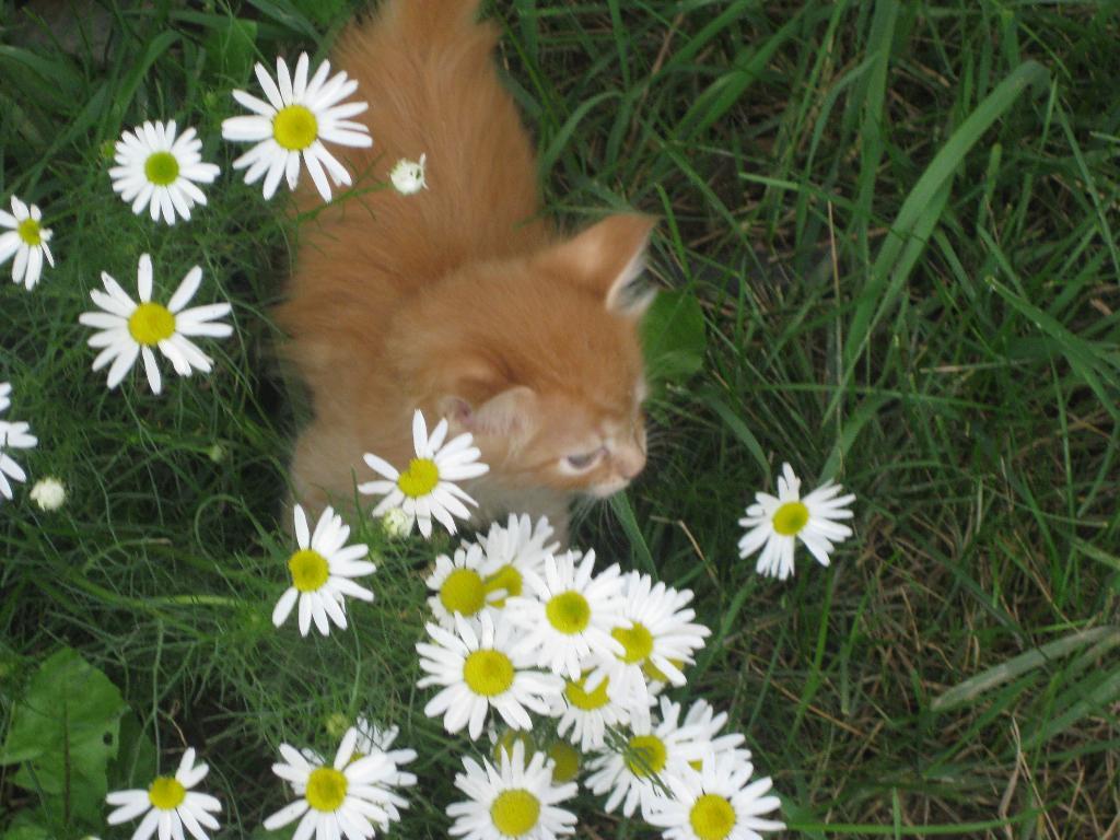 Рыжик. Кошки