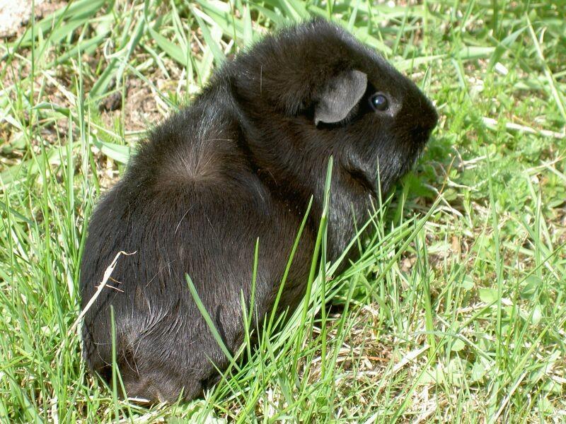 Черный. Морские свинки