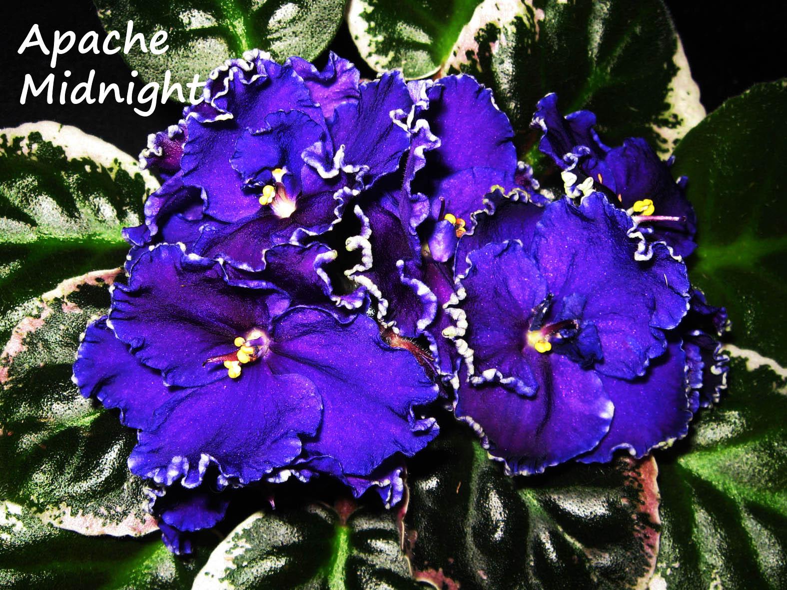 Apache  Midnight. Растения комнатные