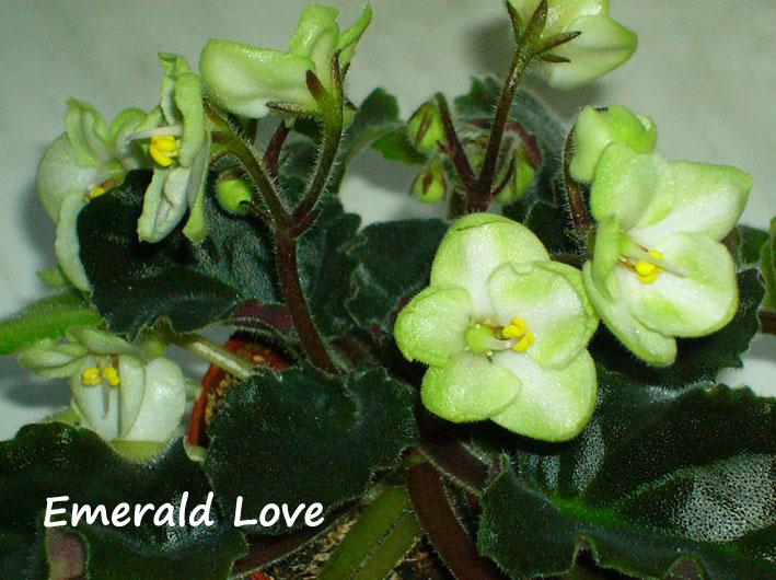 Emerald Love. Растения комнатные