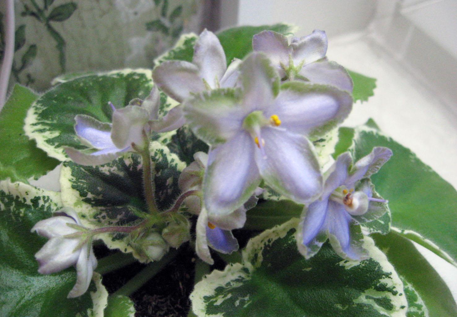 Frosty Frolic. Растения комнатные