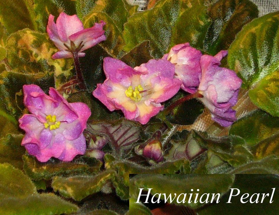 Hawaiian Pearl. Растения комнатные