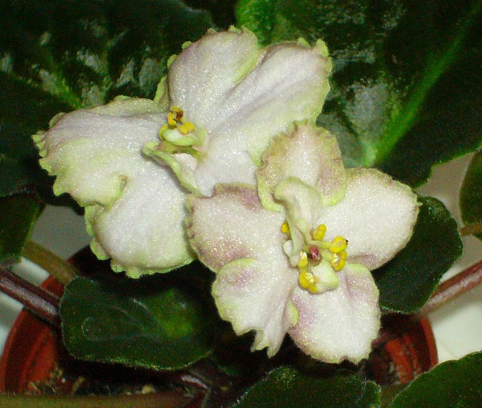 Irich Whisper. Растения комнатные
