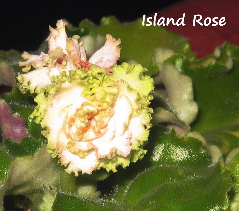 Island Rose. Растения комнатные