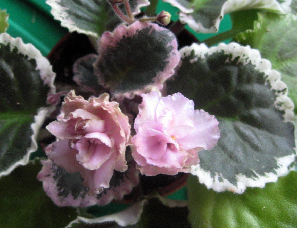 Ma's Corsage. Растения комнатные