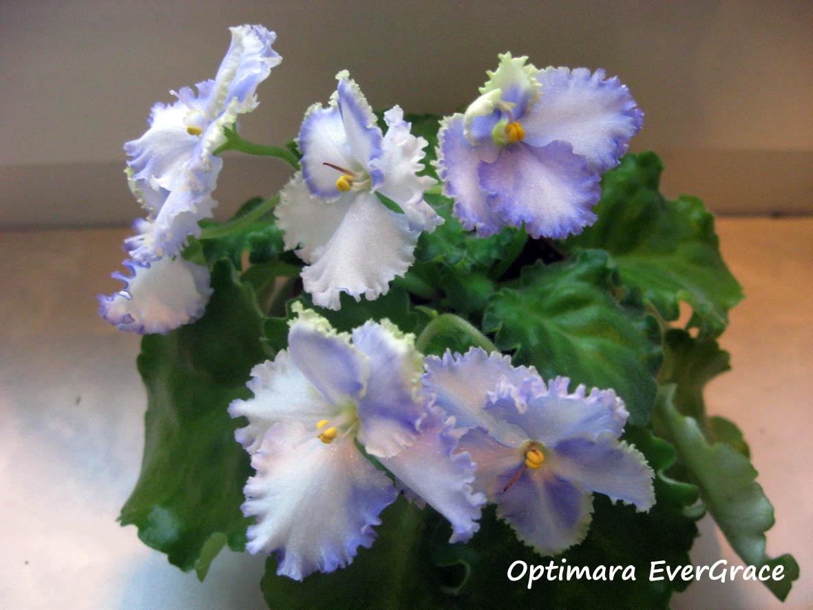 Optimara EverGrace. Растения комнатные