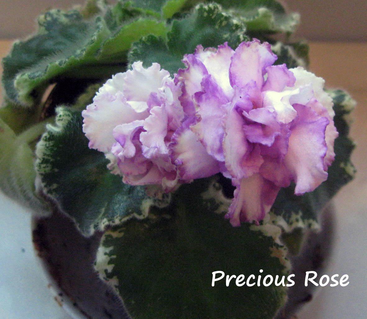 Precious Rose. Растения комнатные