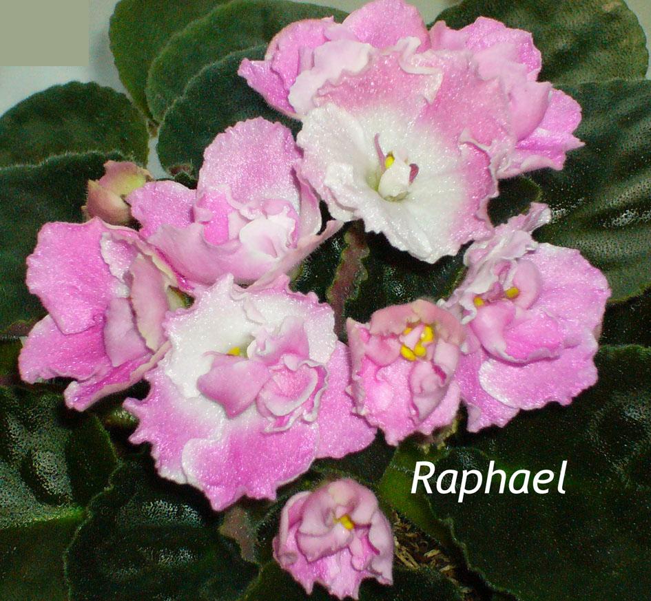Raphael. Растения комнатные