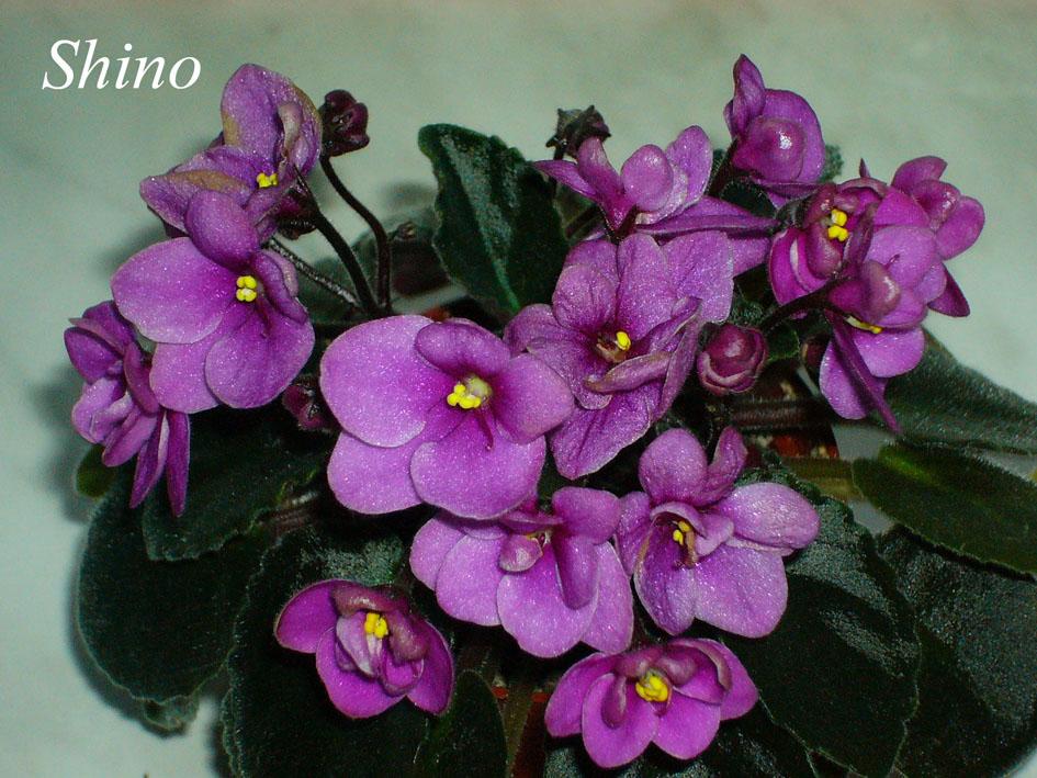 Shino. Растения комнатные