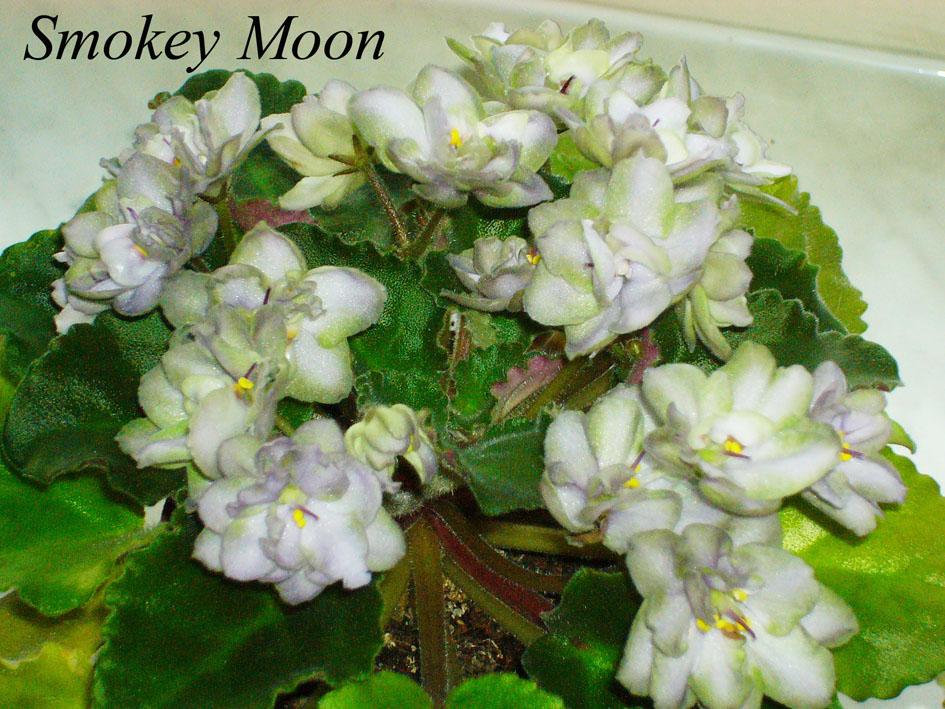Smokey Moon. Растения комнатные