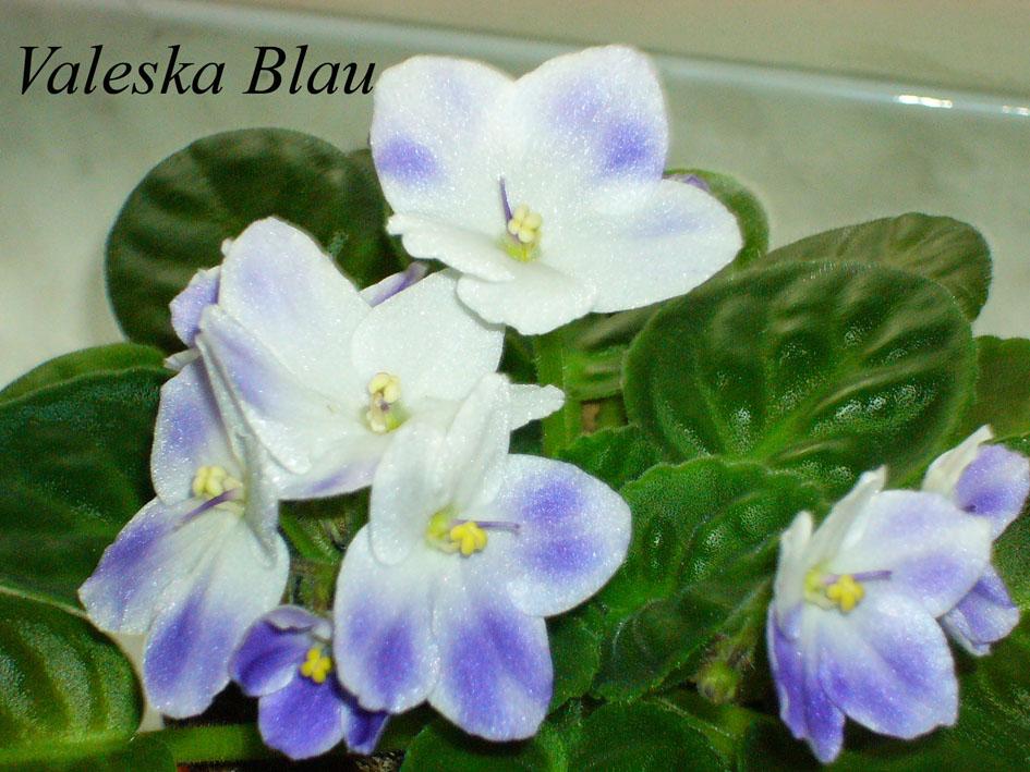 Valeska Blau. Растения комнатные