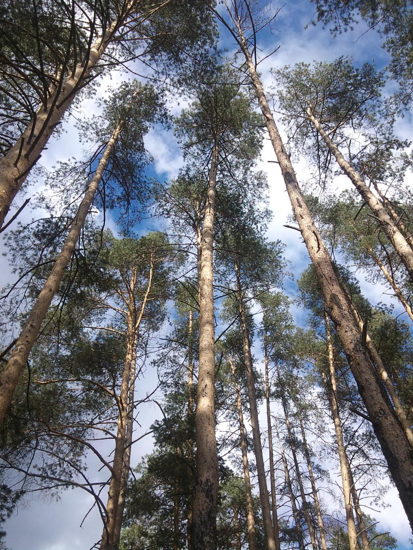 сосны. Лесной пейзаж
