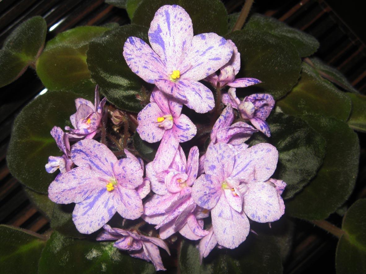 Сладкая Конфетка. Растения комнатные