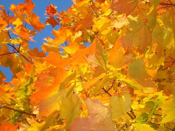 Словно тысячи солнц кленовые листья горят!.